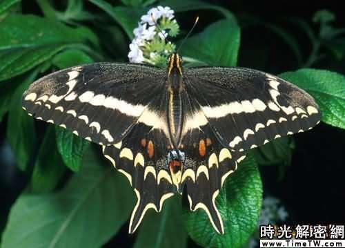 英國絕跡多年大藍蝶重新出現(組圖)(2)