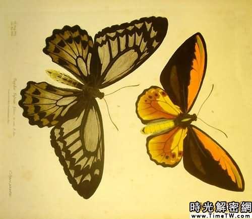 英國絕跡多年大藍蝶重新出現(組圖)