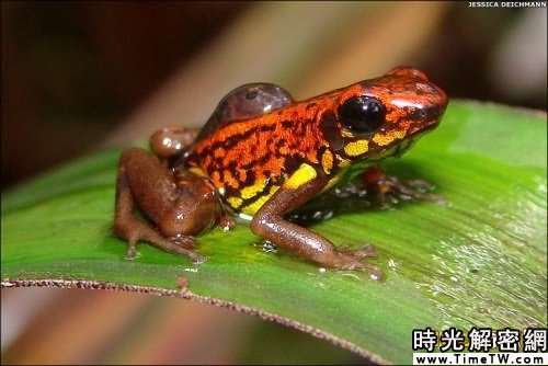 南美發現新物種:微型蛙僅1.3厘米長(組圖)