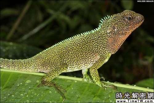 南美發現新物種:微型蛙僅1.3厘米長(組圖)(2)