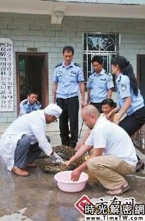 巨蟒一夜偷吃42隻雞 村民合力將其逮住(圖)