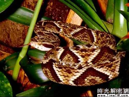 神奇動物改善人類健康:箭頭蛇毒液能降血壓