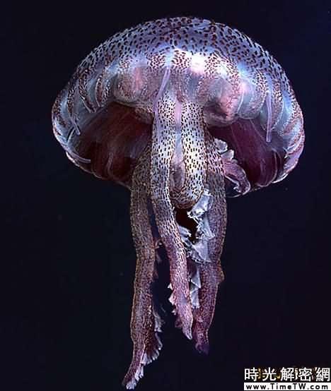 這種紫水母被認為是因近來海水溫度升高而來到英國海域