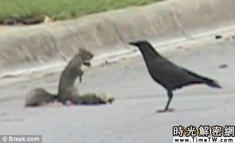 松鼠為保護同伴屍體與烏鴉搏鬥(組圖)