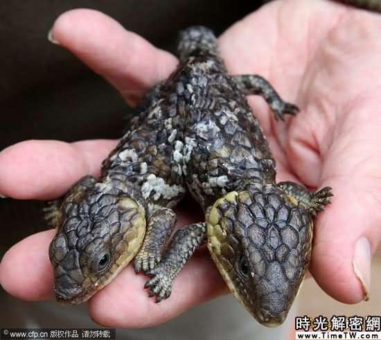 雙頭蜥蜴動物公園安家。