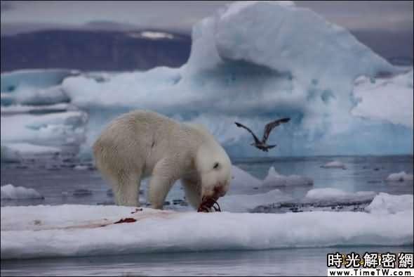 环斑海豹是北极熊的主要食物