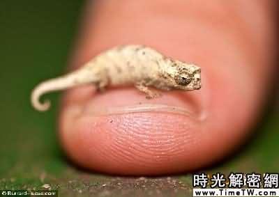 英攝影師發現迷你變色龍 身體比人手指甲還小