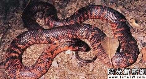 澳洲棕伊蛇