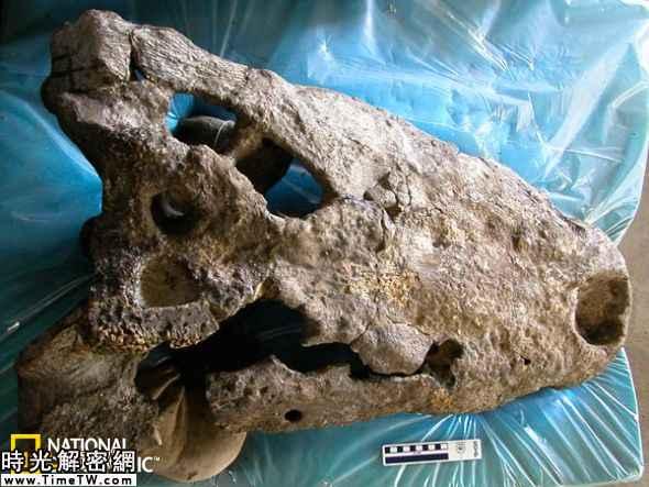新發現的巨型鱷魚頭骨