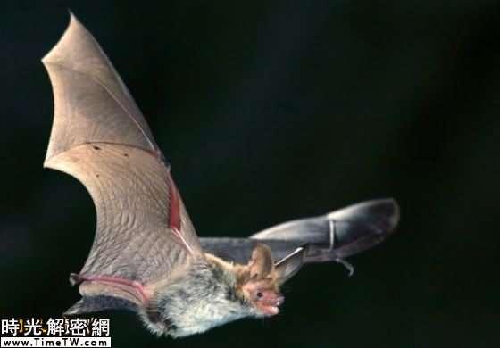 研究人員認為大蠟螟之所以進化出驚人的聽覺是為了躲避蝙蝠