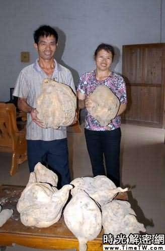 廣東韶關「出土」15公斤重特大「蕃薯王」(圖)