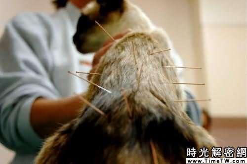 南非醫生利用針灸治癒貓咪哮喘(組圖)