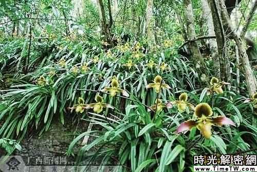 廣西發現珍稀蘭花群 官員求保護良策(組圖)