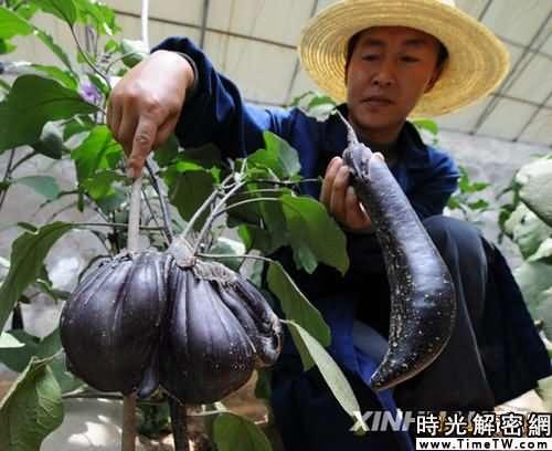神七搭載蔬菜種子選育出現有益變異(圖)