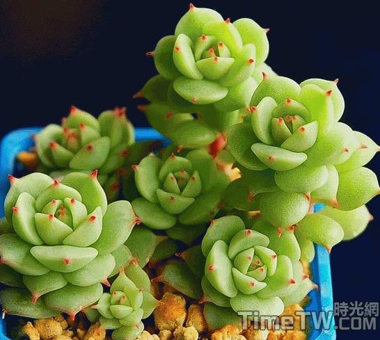 靜夜 - Echeveria derenbergii