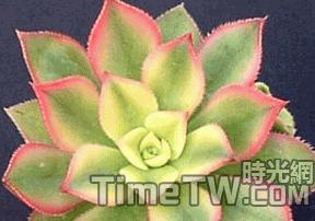 艷日輝、清盛錦、燦爛、雅宴曲、夕映愛 - Aeonium decorum f variegata