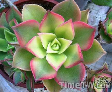 艷日輝、清盛錦、燦爛、雅宴曲、夕映愛 Aeonium decorum f variegata