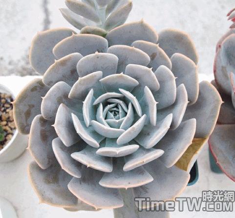 魯氏石蓮花 - Echeveria runyonii