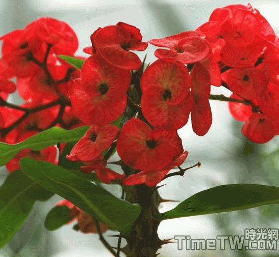 虎刺梅、鐵海棠 Euphorbia milii