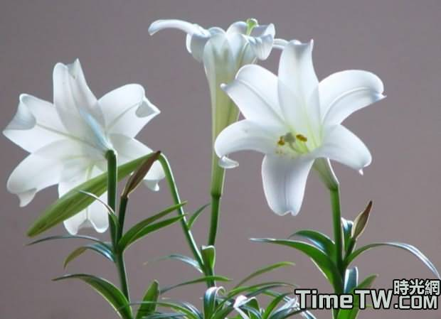 聖誕百合 - Sandersonia aurantiaca Hook.f