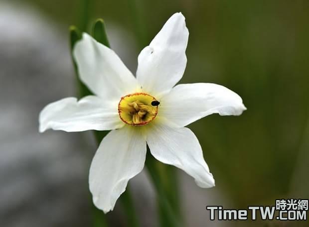 紅口水仙 - Narcissus poeticus L.