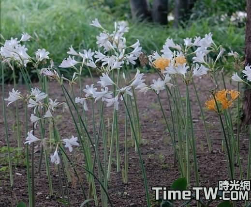 長筒石蒜 Lycoris longitubaY. Xu & G. J. Fan
