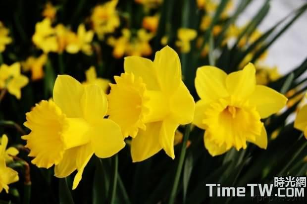 洋水仙 - Narcissus pseudonarcissus
