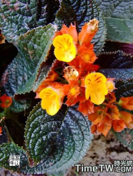 金紅花 - Alloplectusmartius