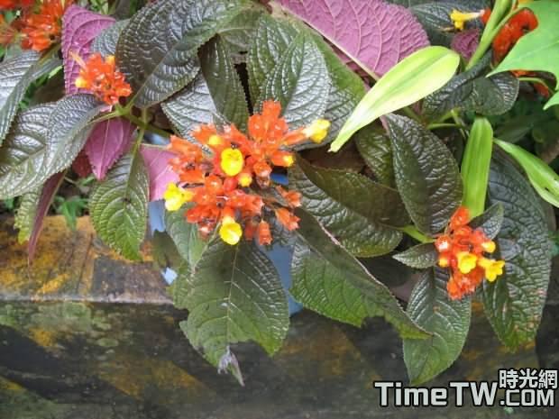金紅花 Alloplectusmartius