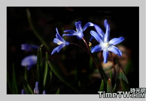 雪光花 - Chionodoxa spp