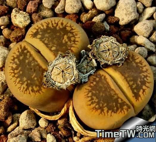 白花太陽玉 - Lithops aucampiae ssp. aucampiae v. aucampiae