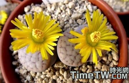 黑耀玉 - Lithops schwantesii ssp. schwantesii v. rugosa