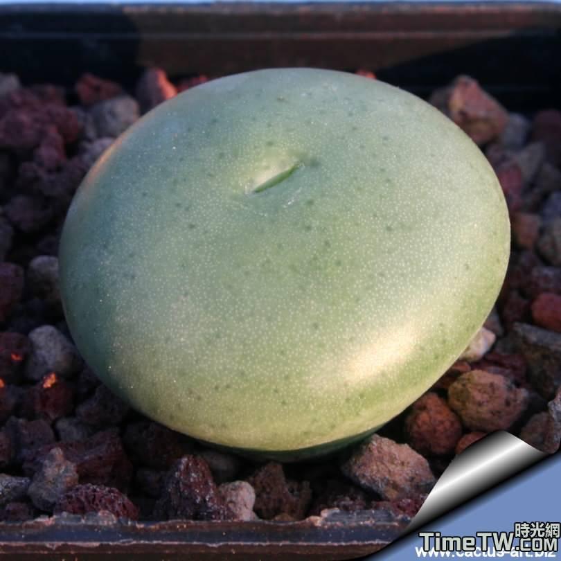 上臘 - Conophytum ornatum