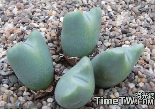 立雛 - Conophytum albescens