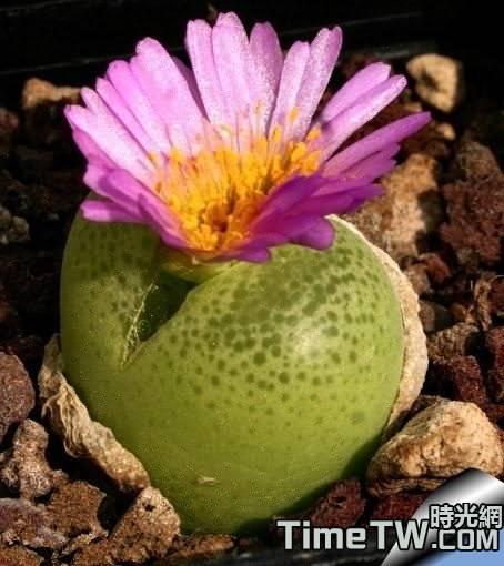 翠光玉 - Conophytum pillansii