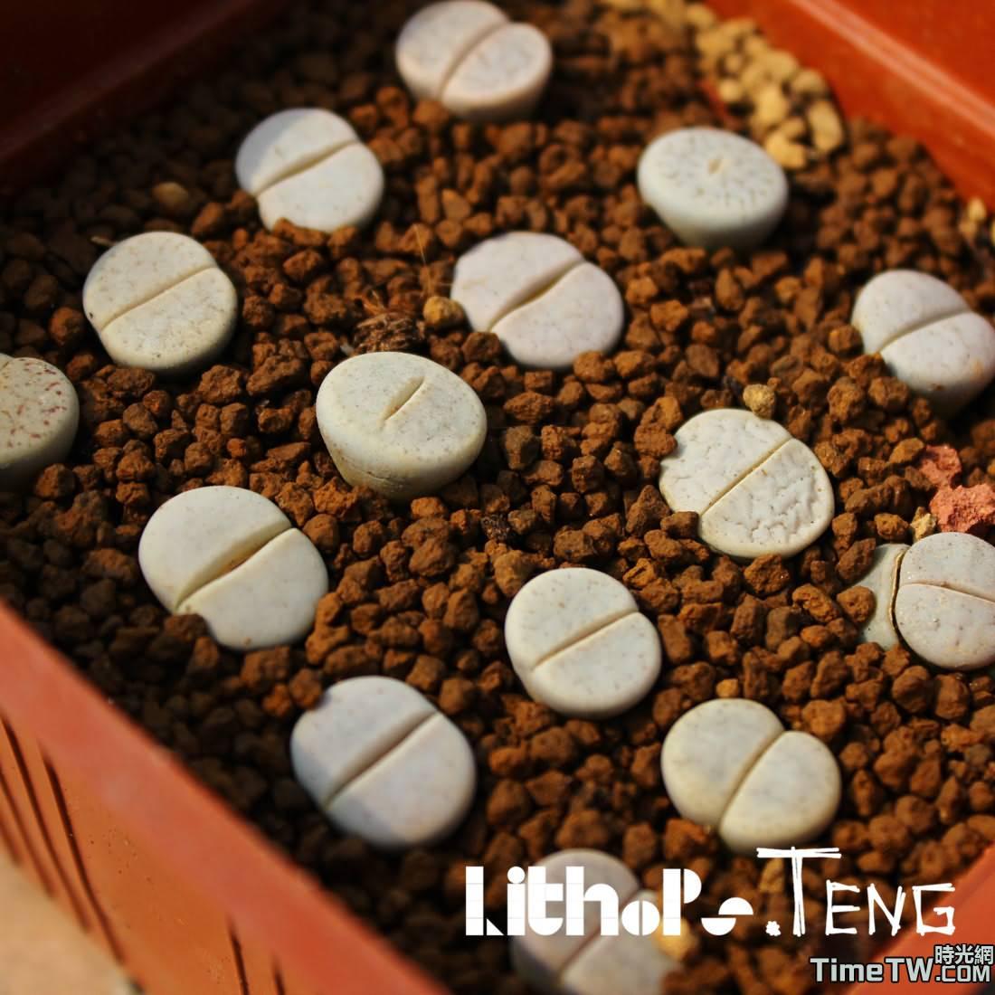 白曲 - Lithops pseudotruncatella ssp. groendrayensis