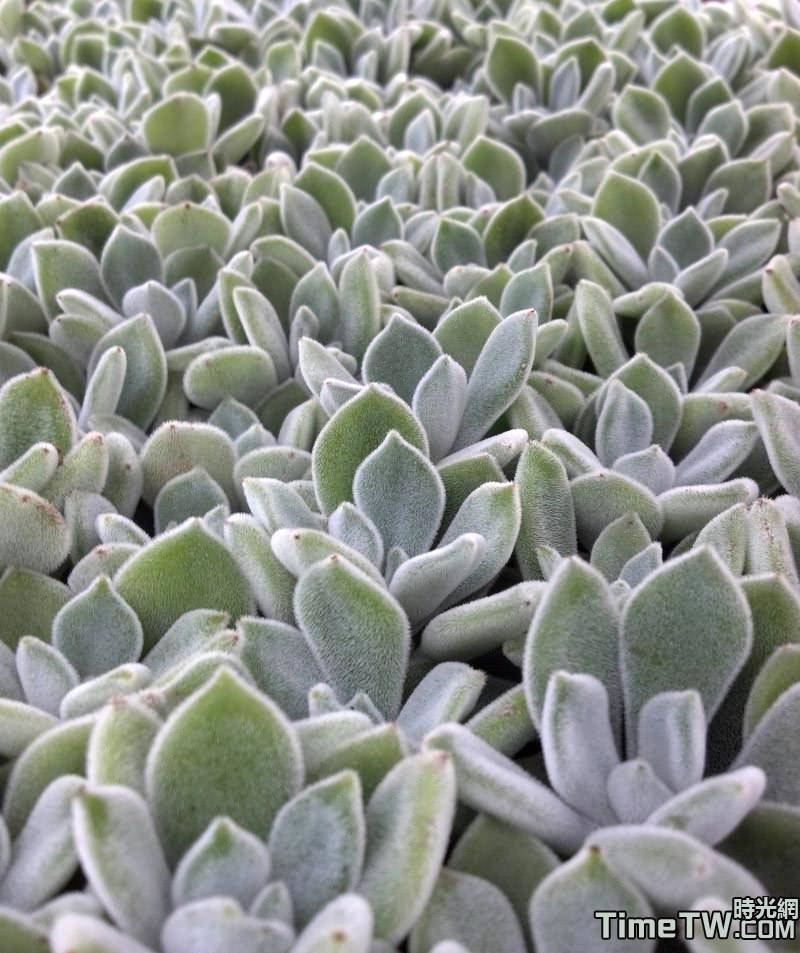雪錦星 - Echeveria pulvinata Frosty