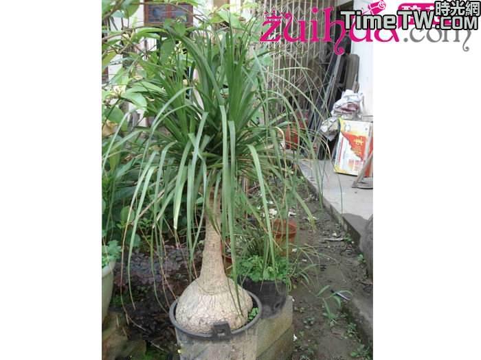酒瓶蘭 Beaucarnea recurvata
