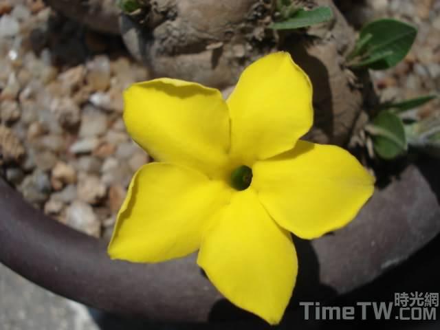 惠比須笑 - Pachypodium brevicaule