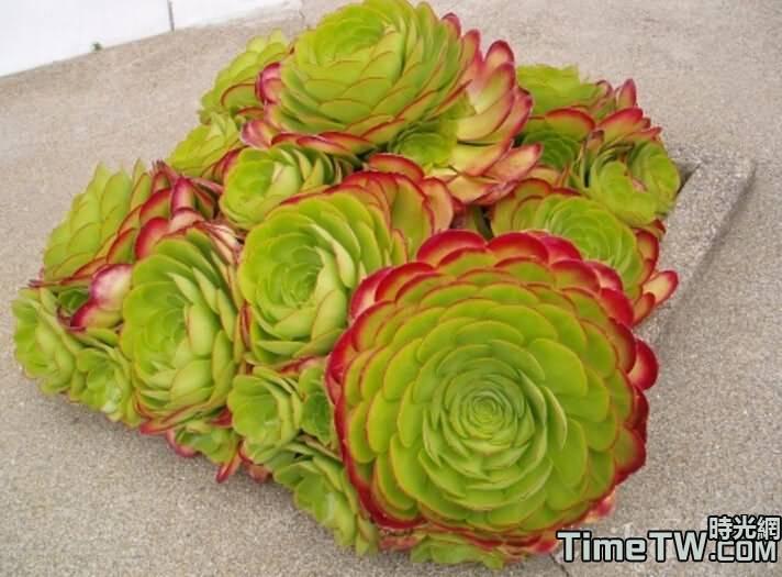 香爐盤 - Aeonium canariense