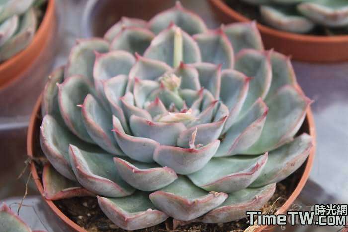 蜜桃獵戶座 - Echeveria Orion sp