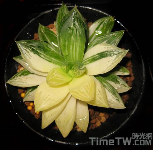 寶草錦,黃金寶草、水晶掌 Haworthia cymbiformis 『variegata'