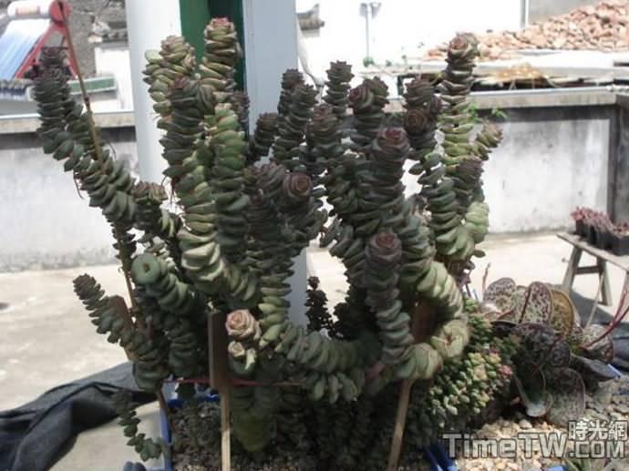 舞乙女 (錢串景天、串錢景天) - Crassula rupestris ssp marnierana