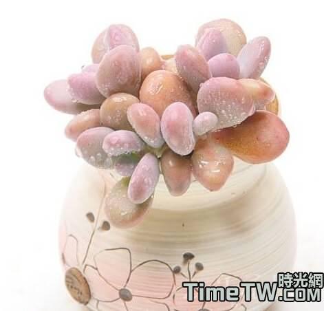 多肉植物桃之卵怎麼養呢?
