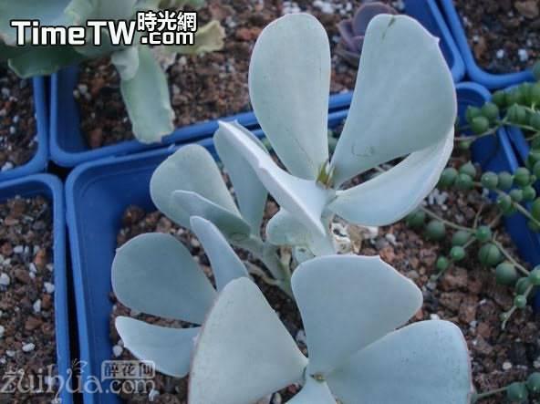 輪迴 - Cotyledon orbiculata