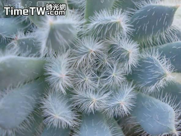 青褚蓮 - Echeveria setosa v. minor