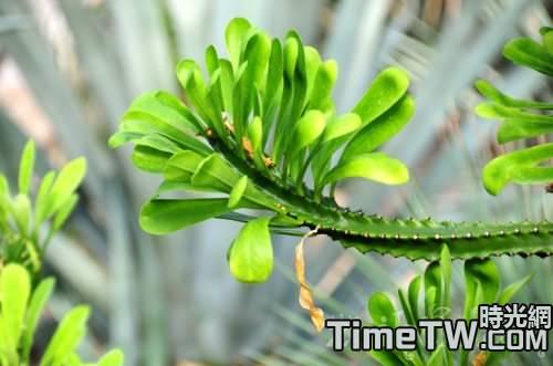 霸王鞭的藥用價值跟繁殖方法
