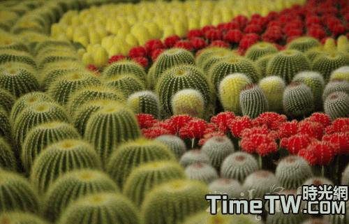 冬季臥室盆栽仙人球當屬首選推薦