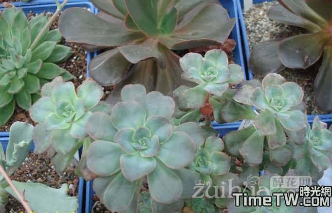 雙色蓮 - Echeveria bicolor