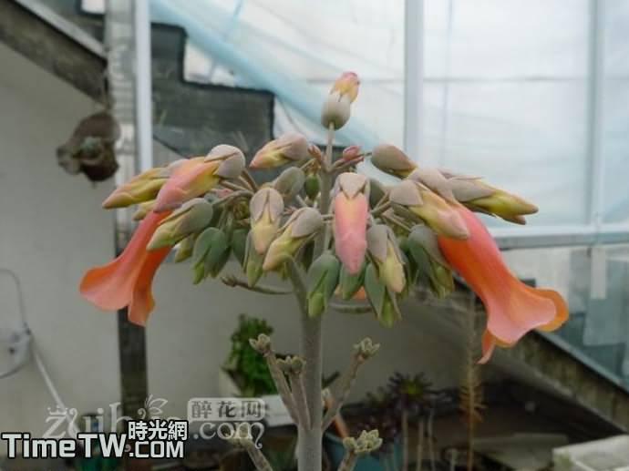 棒葉不死鳥 落地生根 - Kalanchoe tubiflora